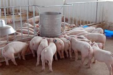 Cấm sử dụng chất tạo nạc Cysteamine trong thức ăn chăn nuôi