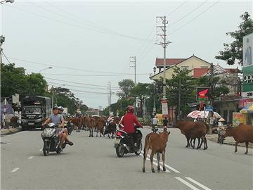 Trâu, bò thả rông gây tai nạn giao thông: Ai chịu trách nhiệm?