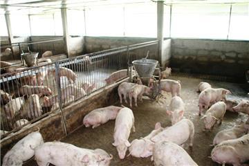 Chính thức cho nhập lợn sống để hạ giá thịt lợn trong nước