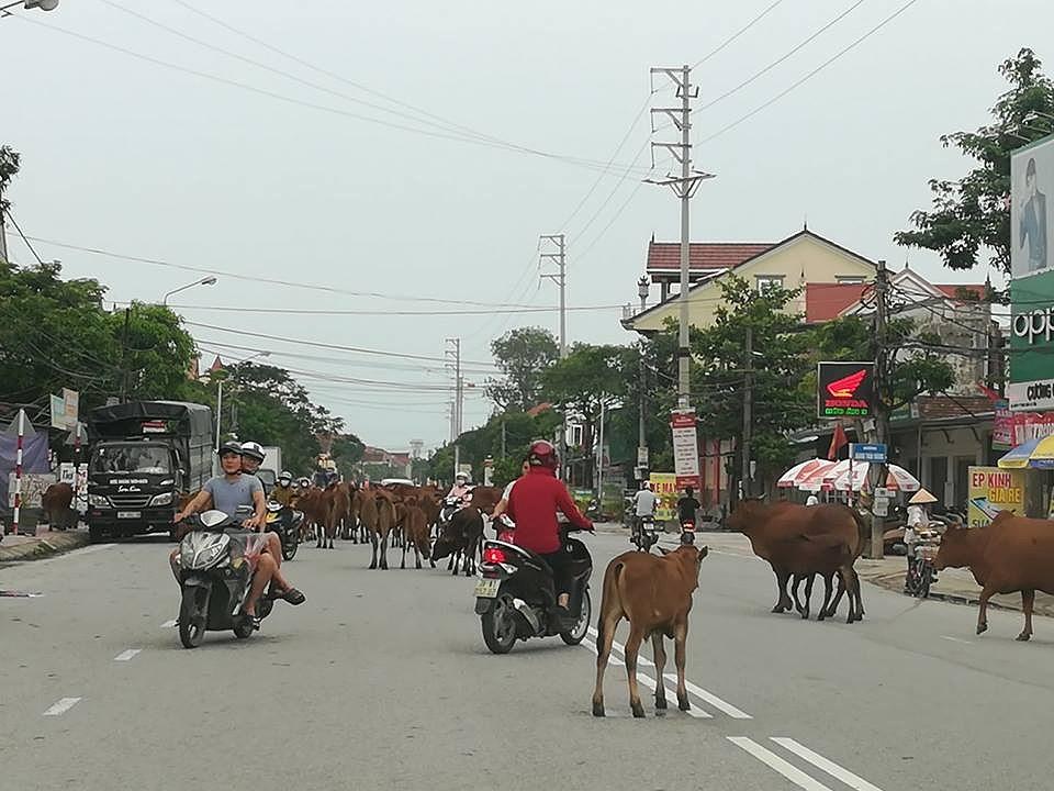 Thả rông trâu bò gây tai nạn giao thông