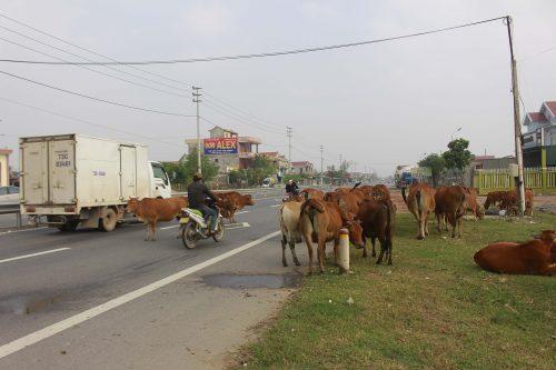 trâu bò thả rông gây tai nạn giao thông