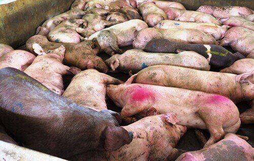 phòng chống dịch bệnh dịch tả lợn châu phi