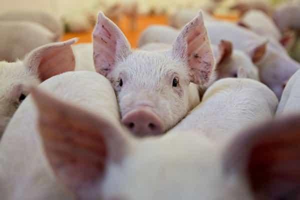 hỗ trợ cho lợn bị dịch bệnh