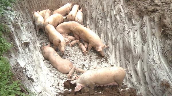Hỗ trợ người có lợn bị tiêu hủy