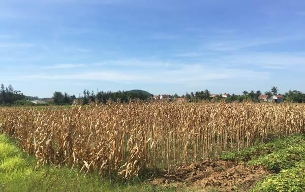chuyển đổi diện tích trồng lúa vùng hạn